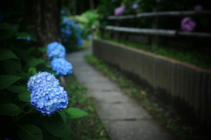 紫陽花 2016 山田池公園 _f0021869_2354546.jpg
