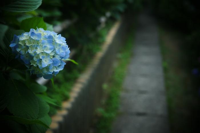 紫陽花 2016 山田池公園 _f0021869_23551247.jpg