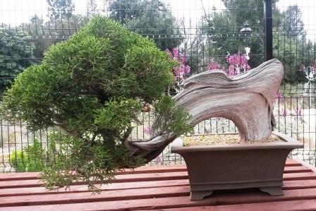 フラトン植物園の盆栽展_e0350971_14471032.jpg