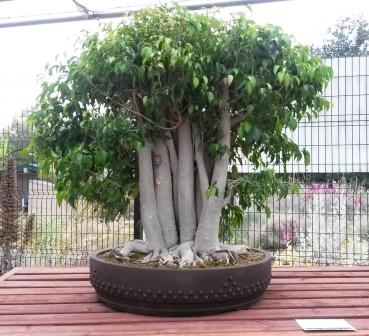 フラトン植物園の盆栽展_e0350971_14481289.jpg