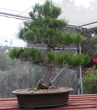 フラトン植物園の盆栽展_e0350971_14492082.jpg