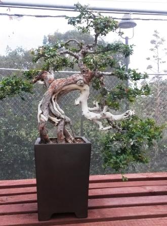 フラトン植物園の盆栽展_e0350971_1450277.jpg