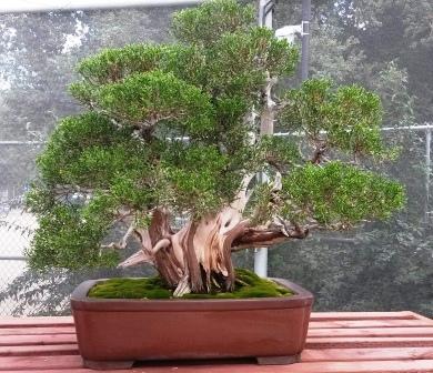 フラトン植物園の盆栽展_e0350971_14514295.jpg