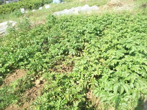 ジャガイモの収穫時期ですが_b0137932_17125021.jpg