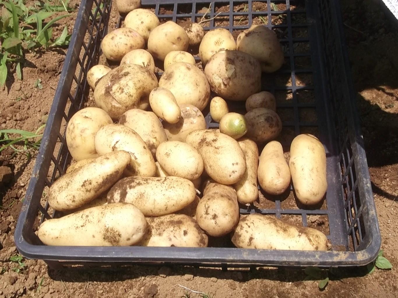 ジャガイモの収穫時期ですが_b0137932_17135951.jpg
