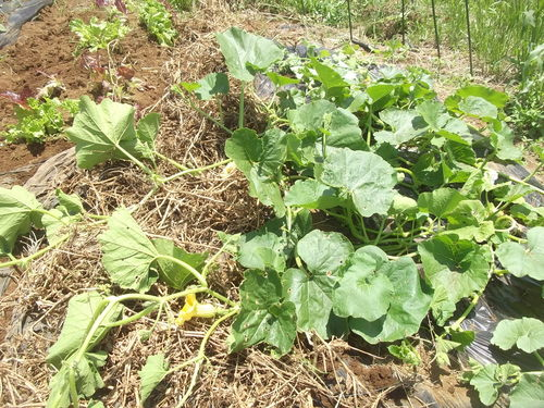 ジャガイモの収穫時期ですが_b0137932_1715487.jpg
