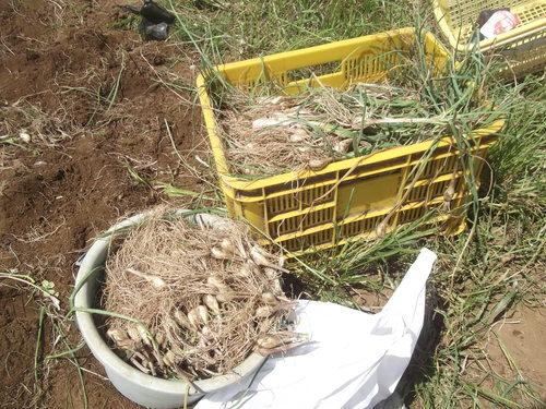 ジャガイモの収穫時期ですが_b0137932_17163210.jpg