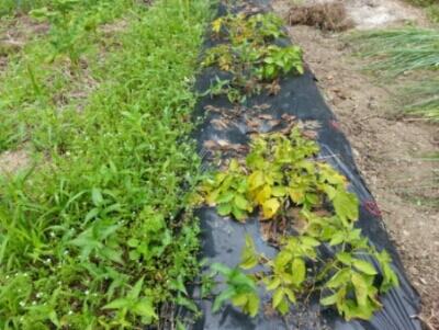 ジャガイモの収穫開始・・・隣の畝にもジャガイモ_c0330749_06441717.jpg