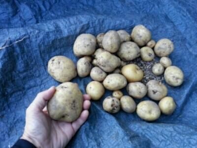 ジャガイモの収穫開始・・・隣の畝にもジャガイモ_c0330749_06441856.jpg
