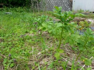 ジャガイモの収穫開始・・・隣の畝にもジャガイモ_c0330749_06441938.jpg