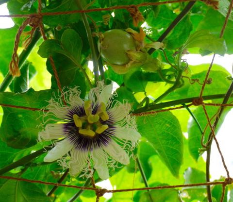 出窓のパッションフルーツ 花から実への移行過程_e0356356_16273401.jpg