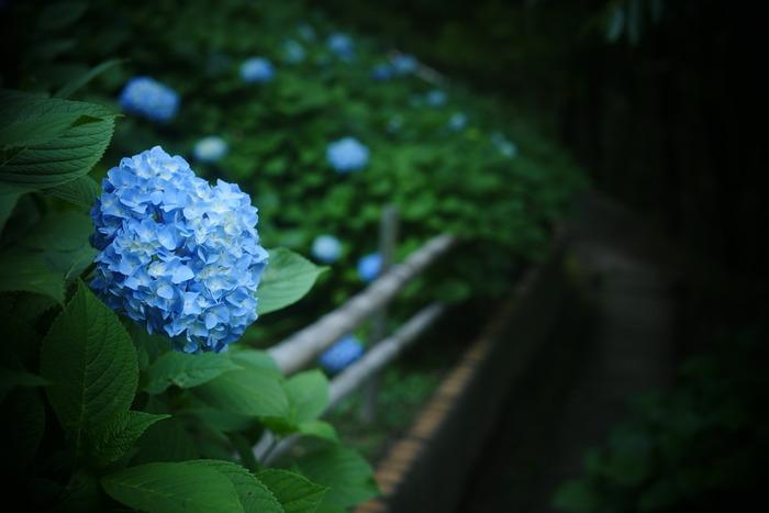 紫陽花 2016 山田池公園 _f0021869_2333212.jpg