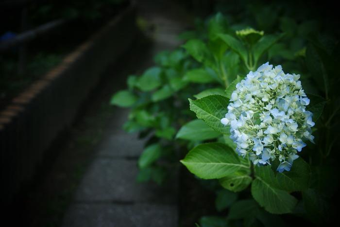 紫陽花 2016 山田池公園 _f0021869_23332882.jpg