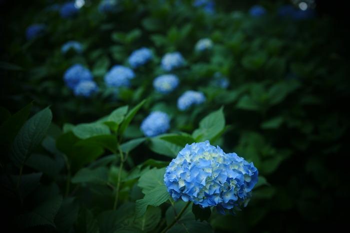 紫陽花 2016 山田池公園 _f0021869_23335351.jpg