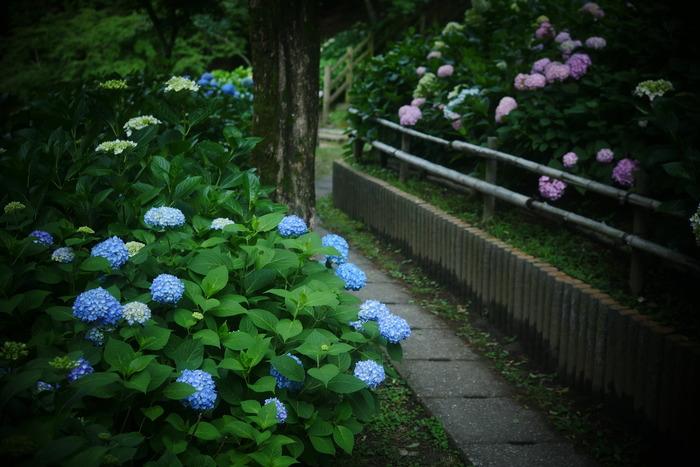 紫陽花 2016 山田池公園 _f0021869_23343857.jpg