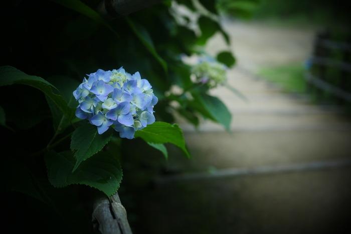 紫陽花 2016 山田池公園 _f0021869_2336186.jpg
