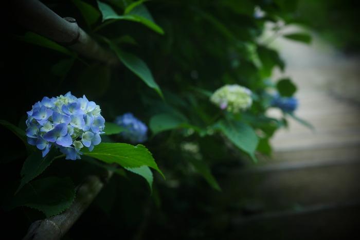 紫陽花 2016 山田池公園 _f0021869_2336261.jpg