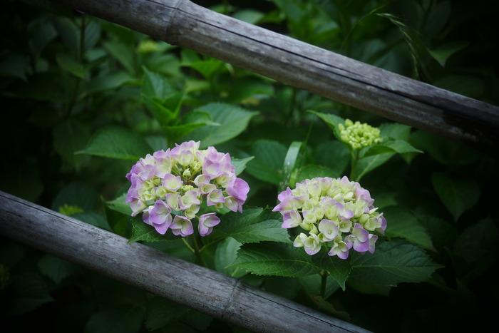 紫陽花 2016 山田池公園 _f0021869_23365177.jpg
