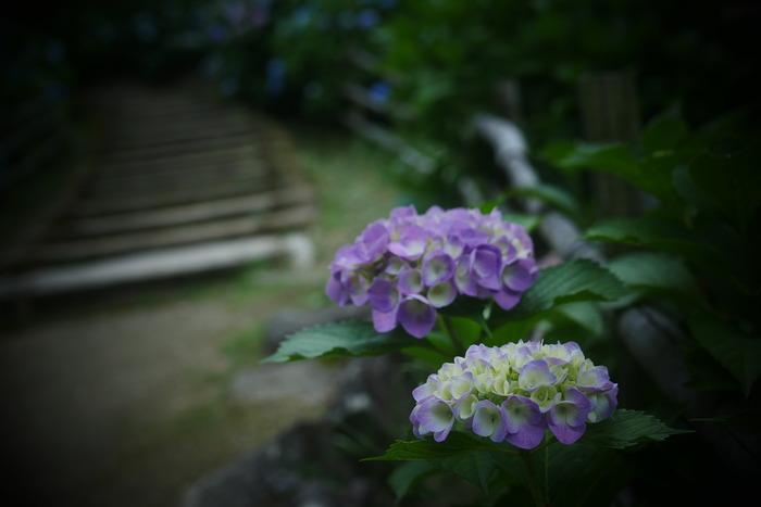 紫陽花 2016 山田池公園 _f0021869_23371697.jpg