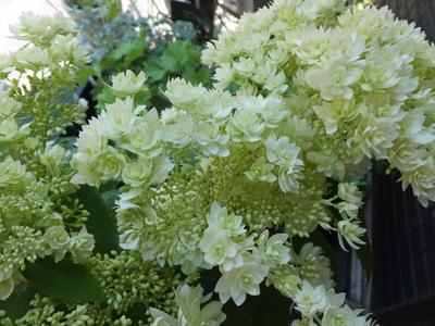 オークリーフ(水色の紫陽花)_f0049672_1149336.jpg