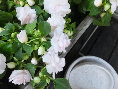 オークリーフ(水色の紫陽花)_f0049672_11502647.jpg