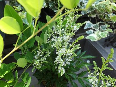 オークリーフ(水色の紫陽花)_f0049672_11533145.jpg