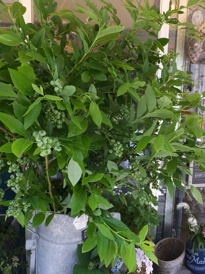 オークリーフ(水色の紫陽花)_f0049672_11542993.jpg