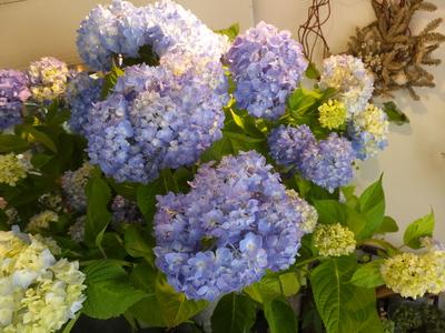 オークリーフ(水色の紫陽花)_f0049672_1211478.jpg