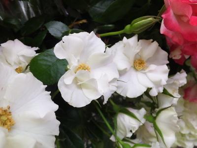 オークリーフ(水色の紫陽花)_f0049672_12164376.jpg