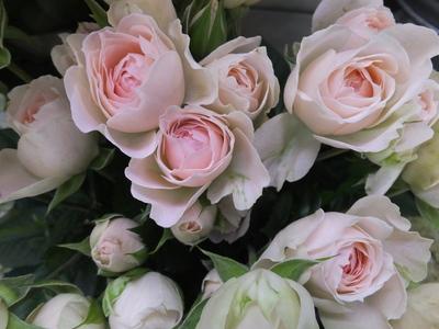 オークリーフ(水色の紫陽花)_f0049672_12165438.jpg