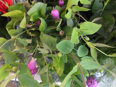 オークリーフ(水色の紫陽花)_f0049672_12172359.jpg