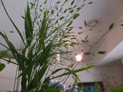 オークリーフ(水色の紫陽花)_f0049672_12174578.jpg
