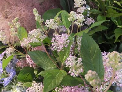 オークリーフ(水色の紫陽花)_f0049672_1218614.jpg