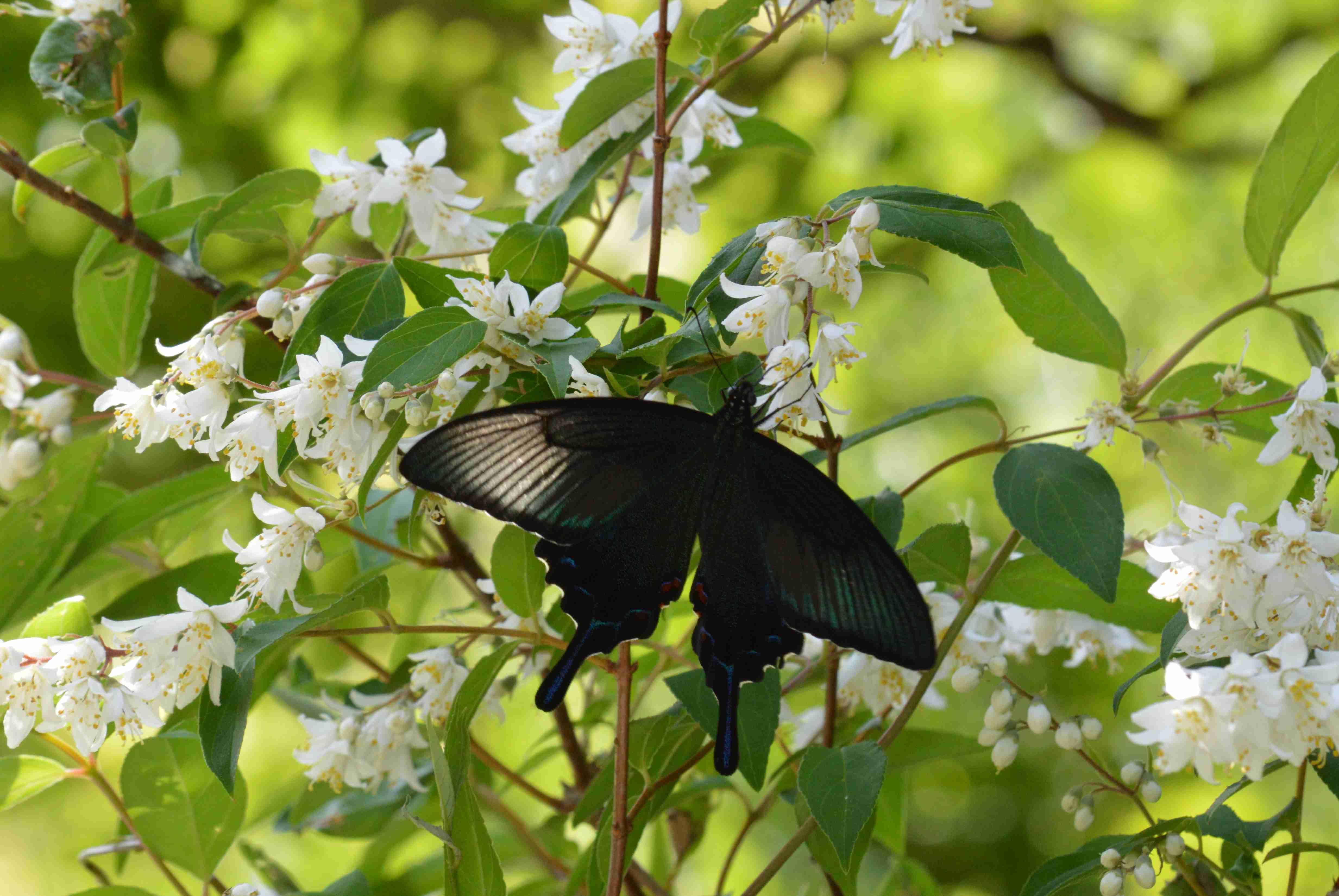 ミヤマカラスアゲハ♀ 6月3日三河にて_d0254540_111952100.jpg