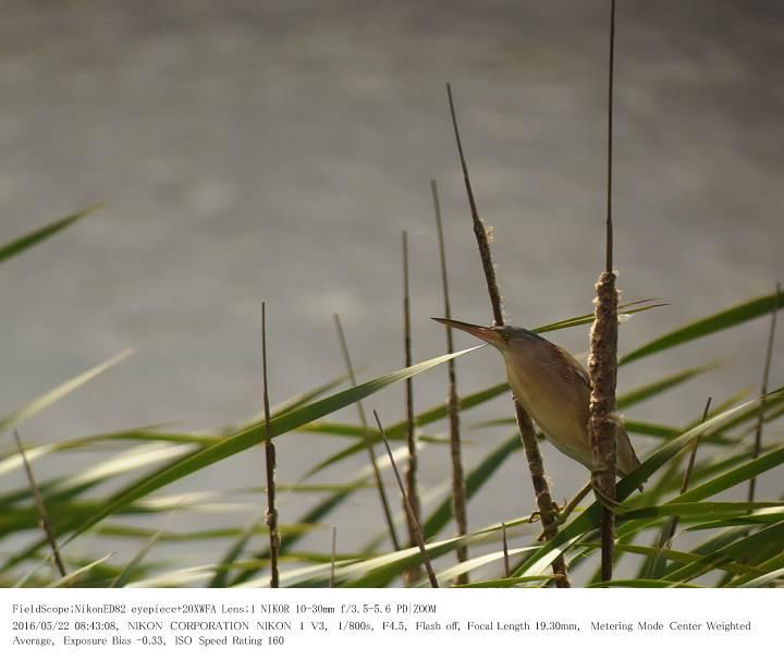 印旛沼北部調整池とその近辺 2016.5.22_c0062451_17565025.jpg