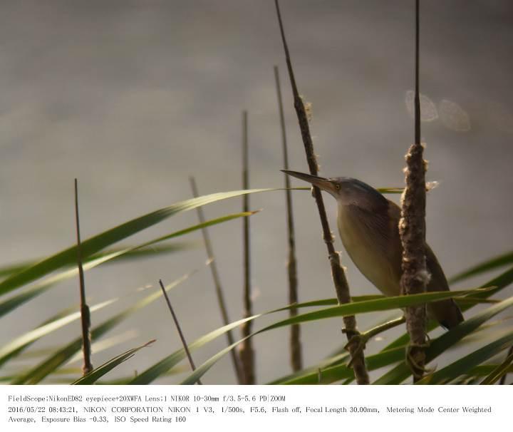 印旛沼北部調整池とその近辺 2016.5.22_c0062451_1758357.jpg