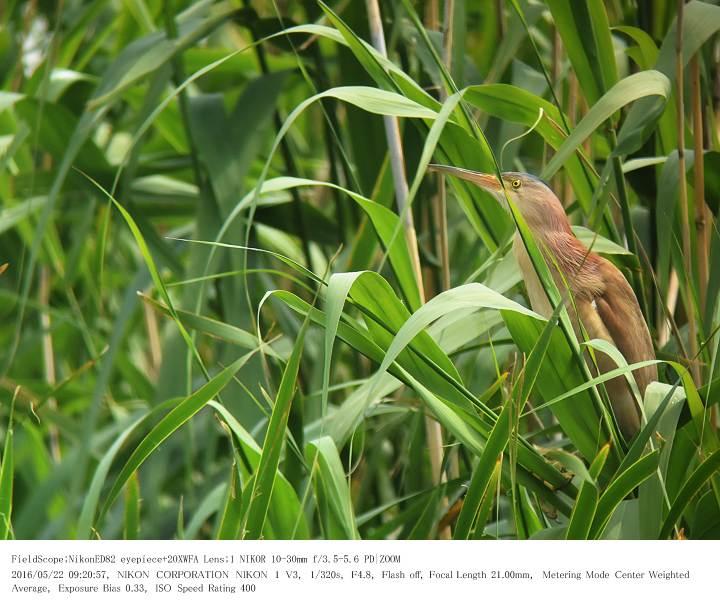 印旛沼北部調整池とその近辺 2016.5.22_c0062451_1759253.jpg