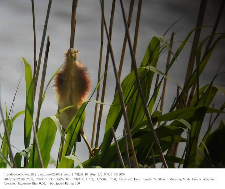 印旛沼北部調整池とその近辺 2016.5.22_c0062451_180479.jpg
