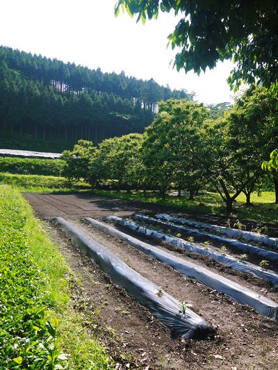 水源キウイ 今年はかなり順調に育ってます!この時期、摘果作業で大きく甘く育てます_a0254656_18174361.jpg