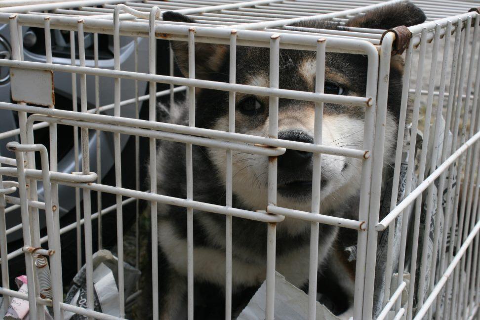ブリーダー放棄の柴犬たち(6/4)_f0242002_22393641.jpg
