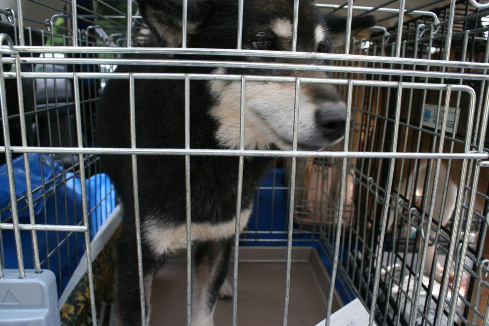 ブリーダー放棄の柴犬たち(6/4)_f0242002_22422292.jpg