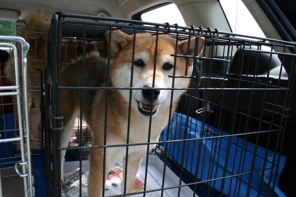 ブリーダー放棄の柴犬たち(6/4)_f0242002_22423125.jpg