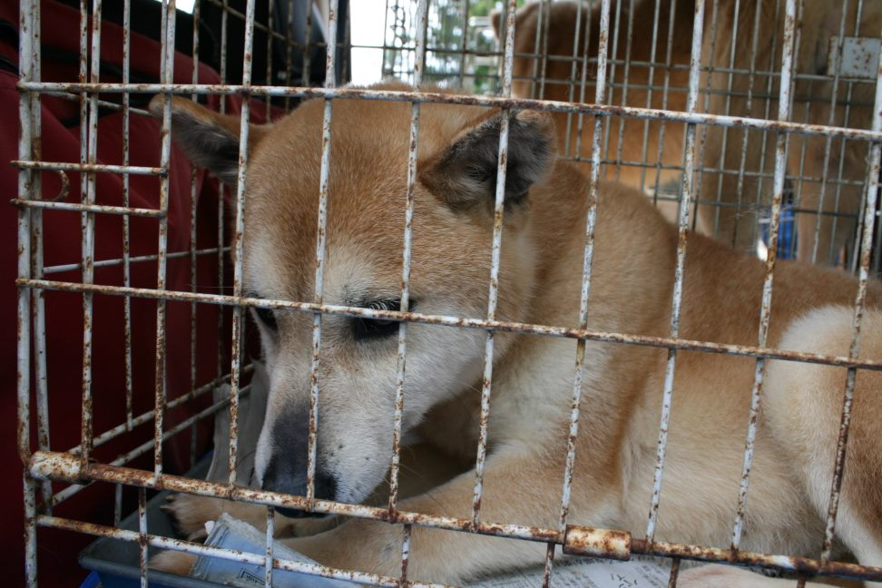 ブリーダー放棄の柴犬たち(6/4)_f0242002_2242742.jpg