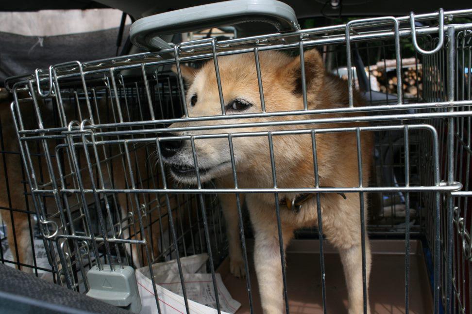 ブリーダー放棄の柴犬たち(6/4)_f0242002_22441827.jpg