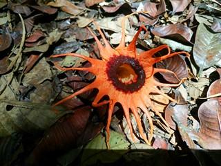 この植物はラフレシアより臭い_a0132757_1541448.jpg