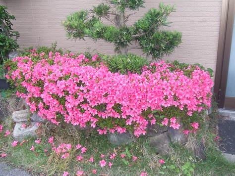 さつきの花が満開_c0086070_11485771.jpg