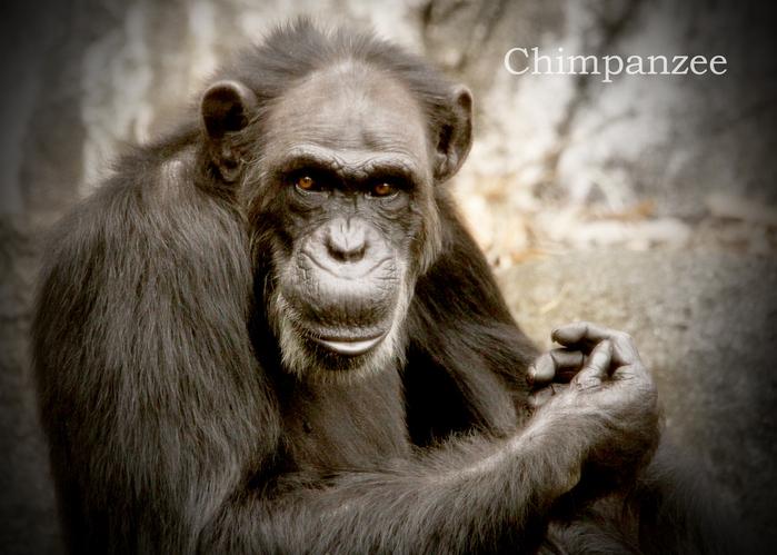 チンパンジー:Chimpanzee_b0249597_10184018.jpg