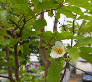 ヒメシャラ_c0039501_12535961.jpg