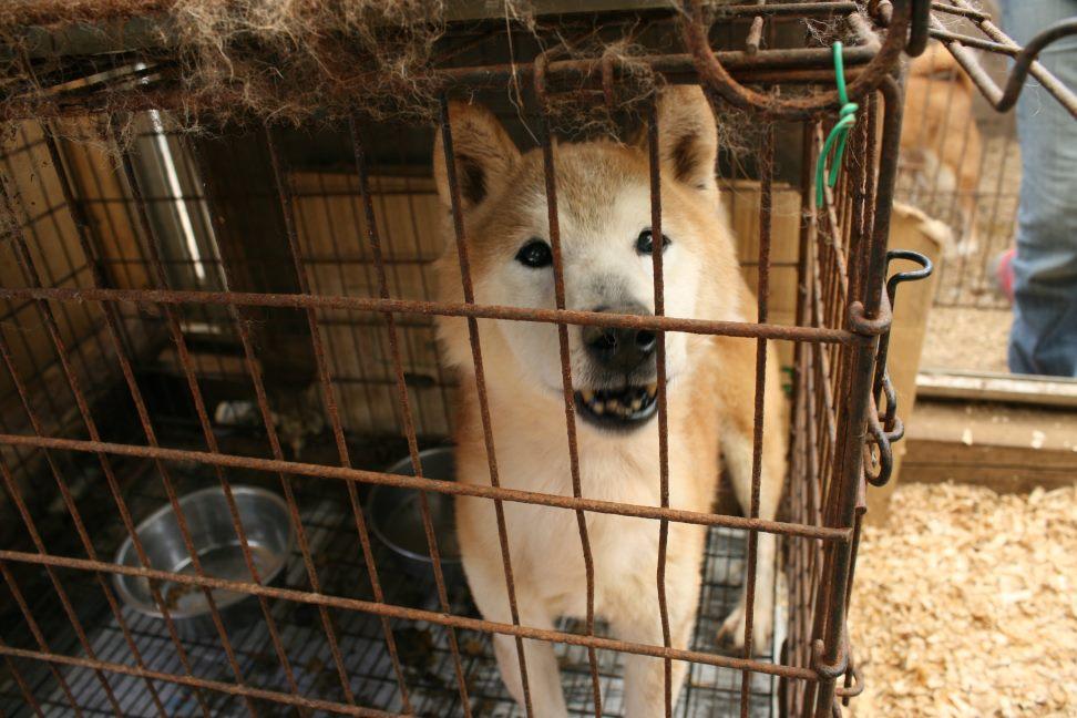 ブリーダー放棄の柴犬とラブたち(7/2-7/3)_f0242002_22512280.jpg