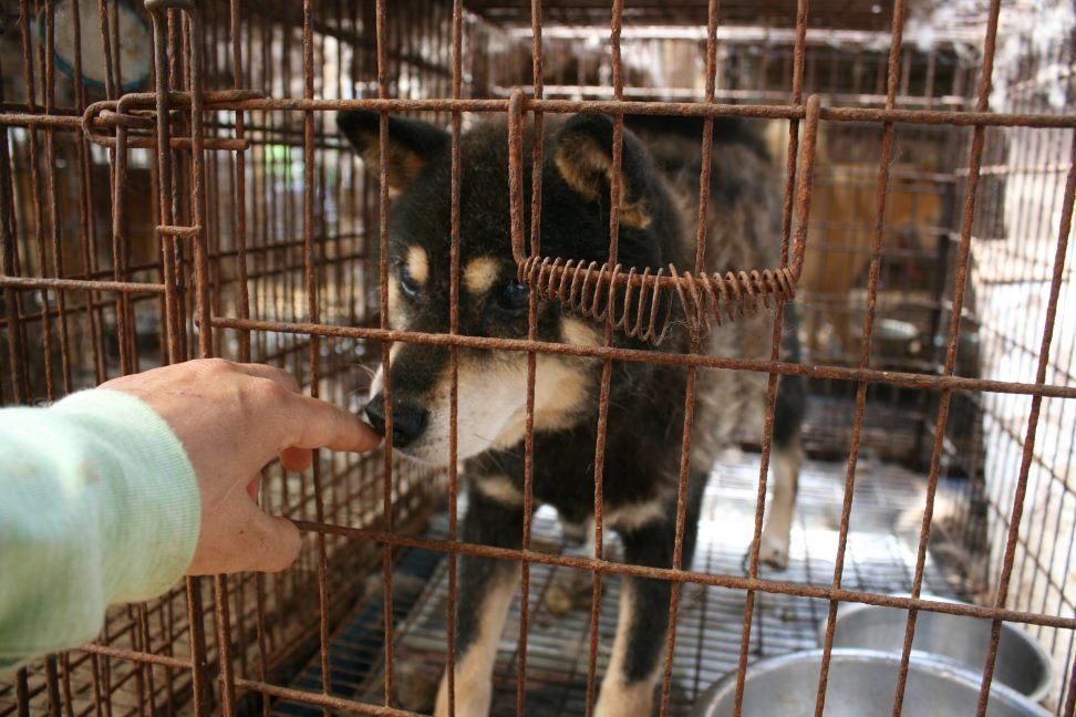 ブリーダー放棄の柴犬とラブたち(7/2-7/3)_f0242002_22593088.jpg